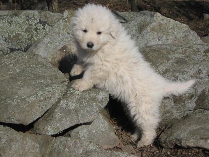 Maremma sheepdog image by RP on Good Boys in 2020