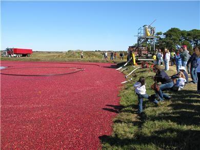 Milestone Cranberry bog on Nantucket during harvest