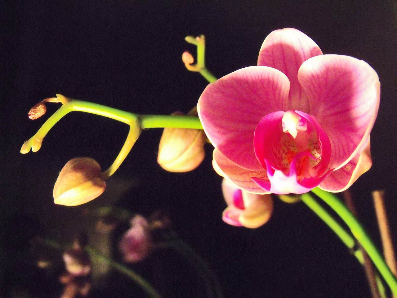 Jak Pielegnowac Storczyki Aby Nie Opadaly Paki Kwiatowe Orchids Flower Room Plants
