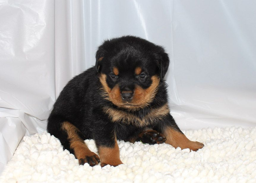Bentley Rottweiler Adopt Rottweilers For Sale At Vip Puppies