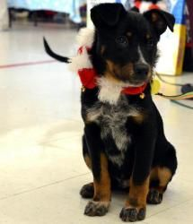 Dobby Rottweiler, Dog; St. Paul, MN Dog finder, Dogs