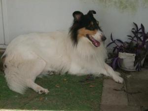 Adopt Lucie On Collie Rescue Collie Dog Collie