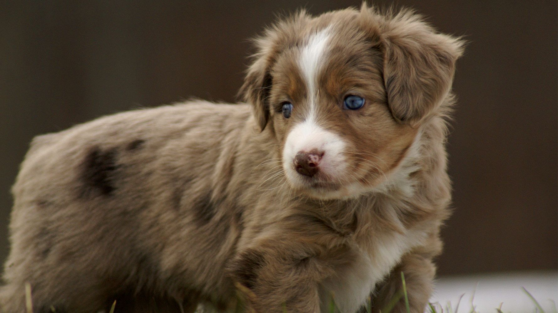 Miniature Australian Shepherd Puppy Male Mini Aussie Puppy Aussie Puppies Puppies