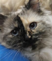 Adopt Speckles On Cats Cats Kittens Cat Lovers
