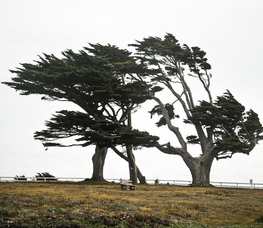 https://flic.kr/p/4RAeRP   Cypresses at Point Arena