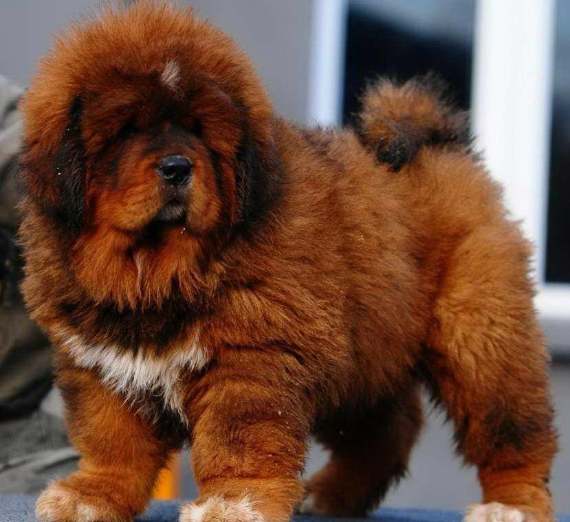 How Much Is A Tibetan Mastiff Puppy In 2020 Tibetan Mastiff