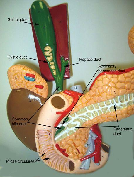 Pancreas Model Labeled | Pancreas, gall bladder, and ...