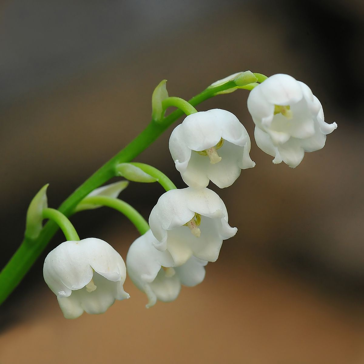 Convallaria Majalis Flowers Birth Month Flowers Birth Flowers
