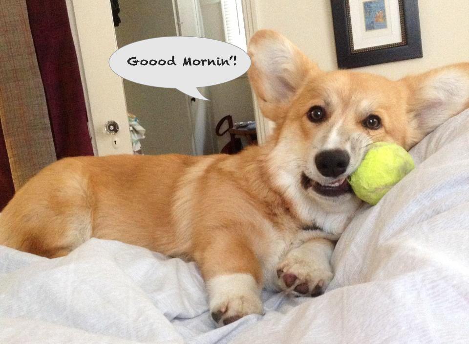 Tennis Ball Why Corgi Corgi Dog Corgi Names