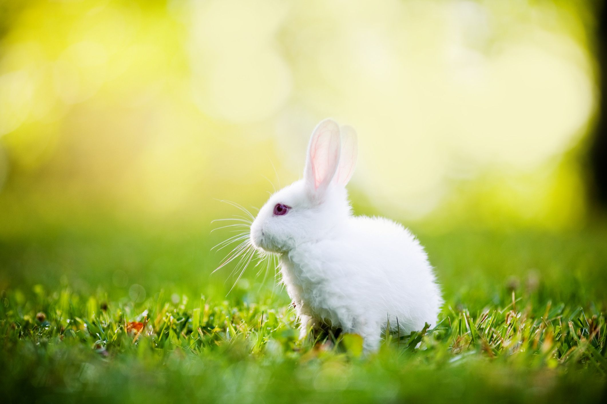 Image Result For White Rabbits Image Beautiful Rabbit Rabbit Wallpaper White Rabbit Images