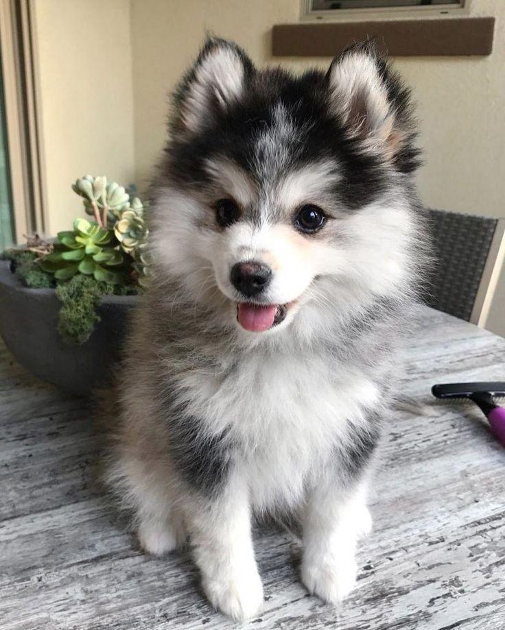 Pomsky (Husky & Pomeranian Mix) | Cute baby animals, Cute ... |Pomeranian Husky Mix Reddit