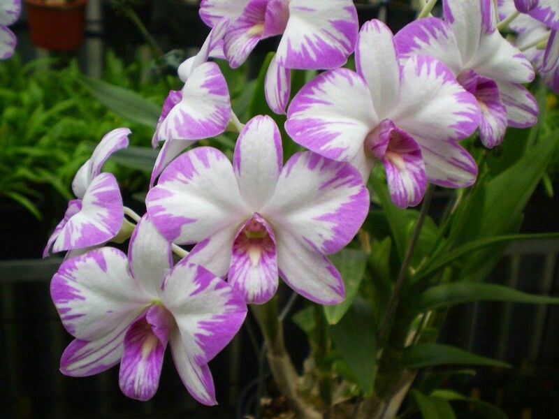 dendrobium bigibbum orchidee pinterest orchid plants and flowers. Black Bedroom Furniture Sets. Home Design Ideas
