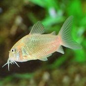 Bronze Corydoras Catfish Catfish For Sale Aquarium Catfish Pet Catfish Freshwater Catfish Aquarium Catfish Freshwater Aquarium Fish