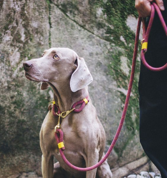 Collar Vs Harness Which Is Best For Your Dog Adventure Rope