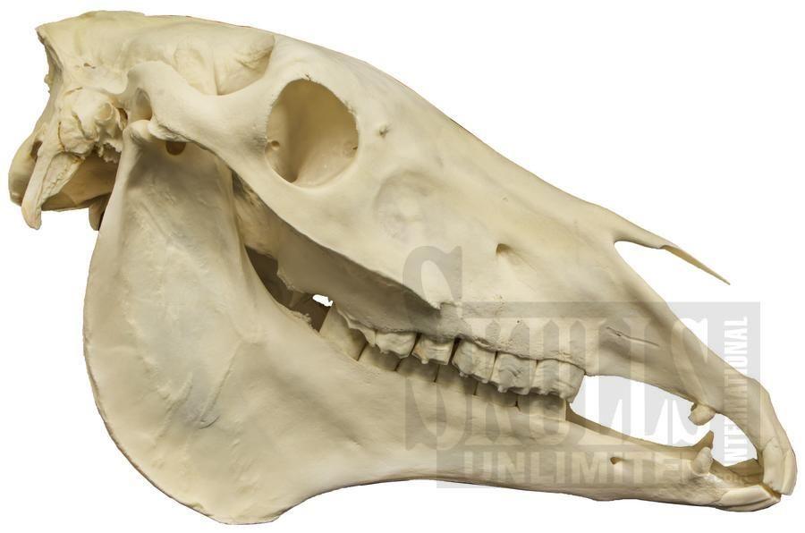 Horse Skull (Equus caballus)   WSM-230   ricardo   Pinterest