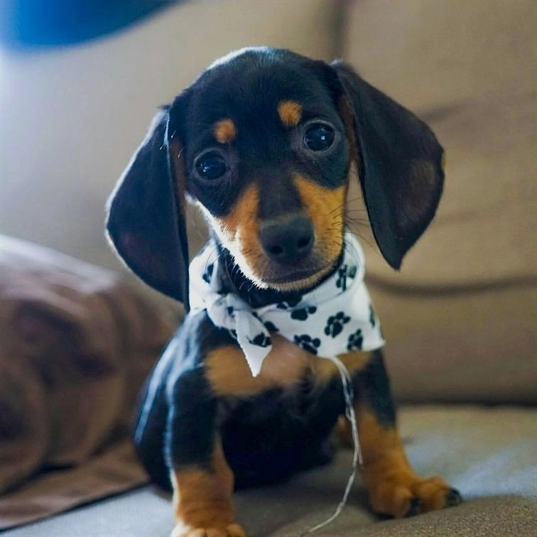 Pretty Babydoll Dachshund Cute Pets Puppies Dachshund Dog With