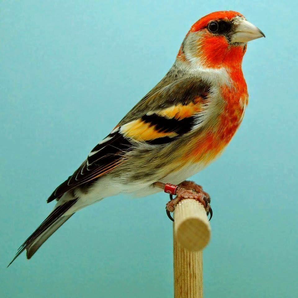 pajaros canarios buscar con google canarybird pinterest