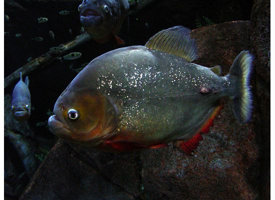 Piranah With Images Aquaculture Fish River Monsters Fish Pet