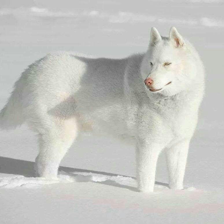 Vivlin White Husky Animals Beautiful Dogs
