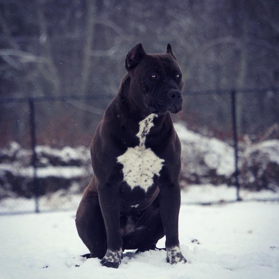 Coachella By Xxl Designer Pitbulls Pitbull Terrier Pitbull Dog