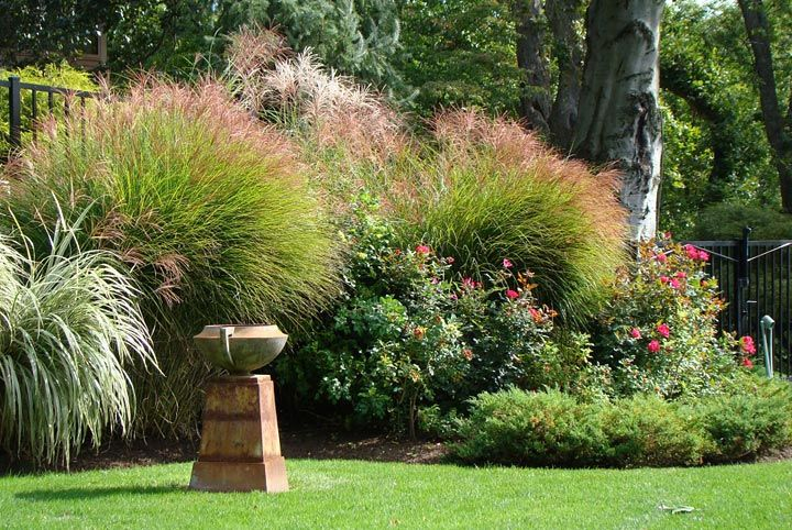 Common Ornamental Grasses How to grow ornamental grass fountain grass grasses and gardens ornamental grasses are decorative some of the most common ornamental grass varieties include pampas workwithnaturefo
