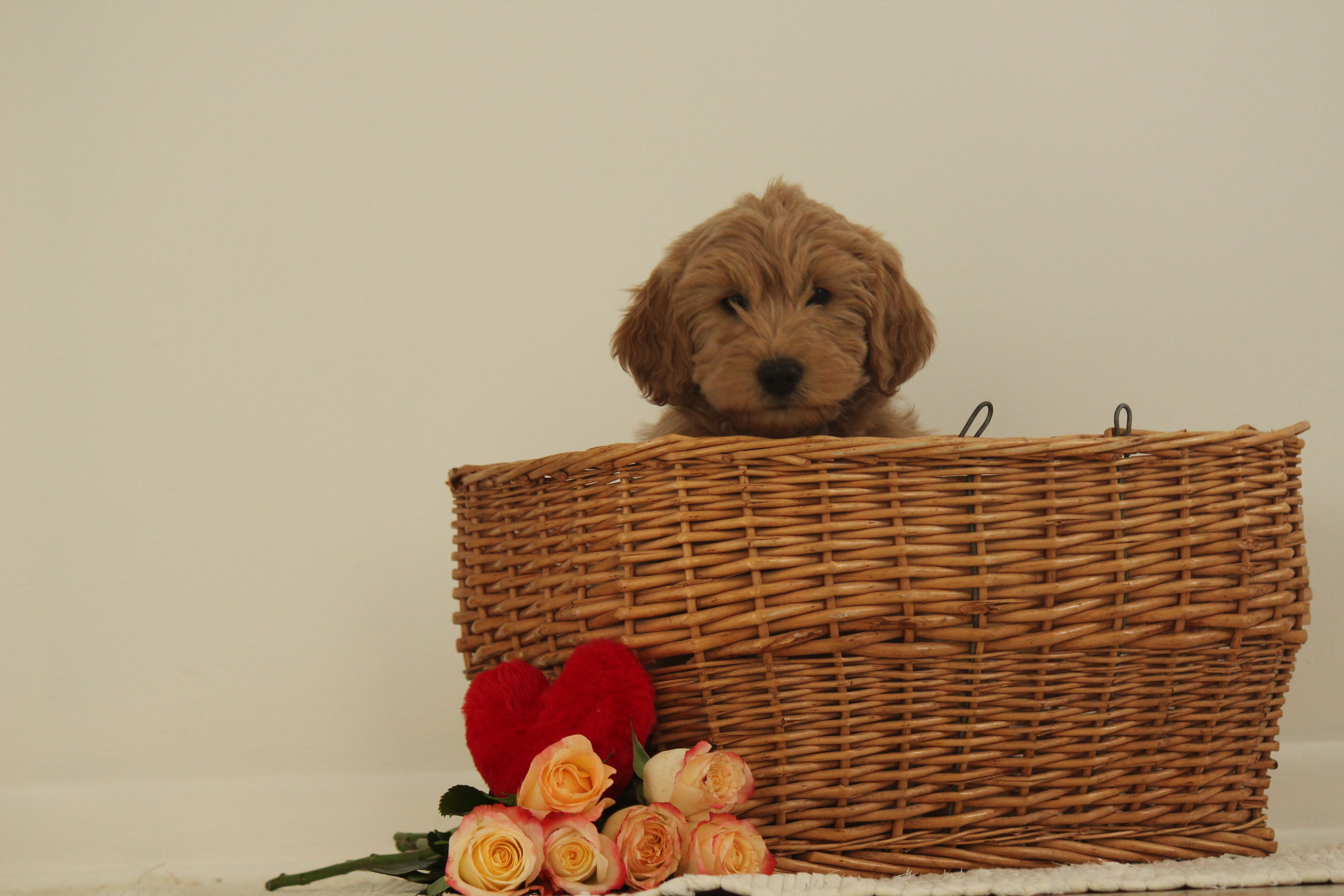 Mini Goldendoodle Puppies For Sale Greenfield Puppies Goldendoodle Puppy For Sale Goldendoodle Puppy Mini Goldendoodle Puppies