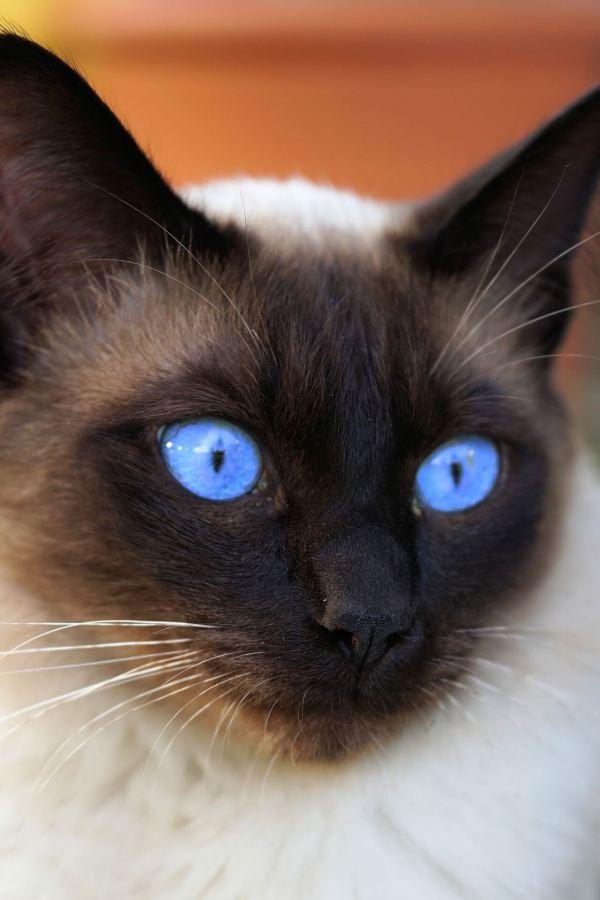 Do Siamese Cats Meow A Lot Purr Craze Siamese Cats Cats Cats Meow