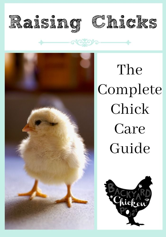 The Ultimate Guide To Raising Baby Chicks Baby Chicks Raising