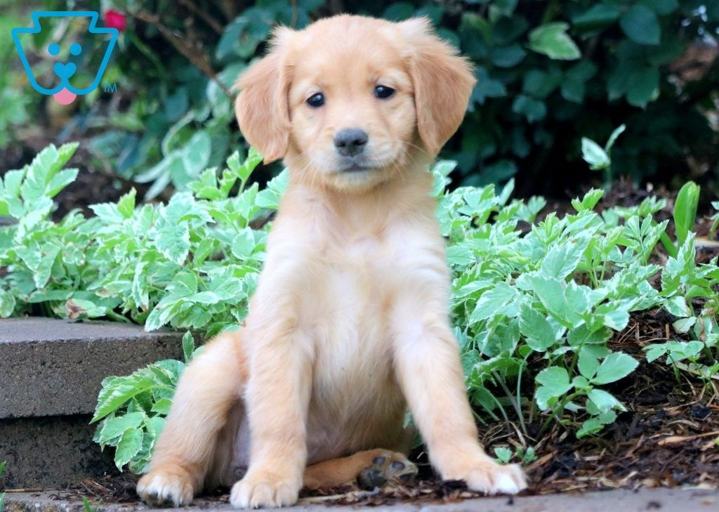 Boo Golden Retriever Puppy For Sale Keystone Puppies Golden Retriever Retriever Puppy Golden Retriever Puppy