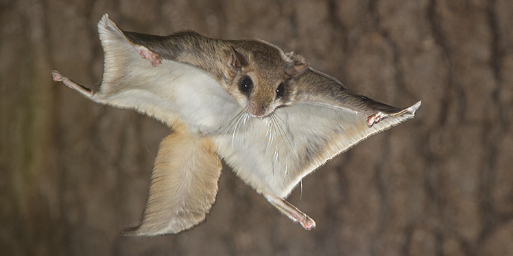 Flying Squirrel Sugar Glider Flying Squirrel Flying Squirrel