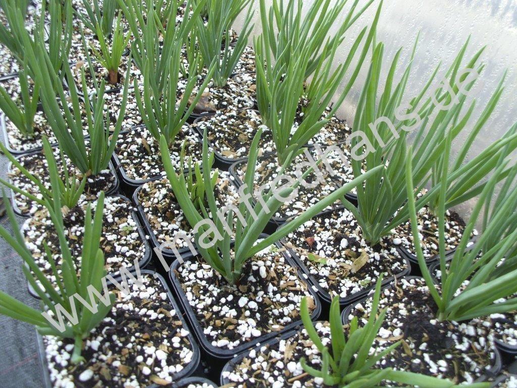 Familienzwiebel (Allium  ascalonicum)