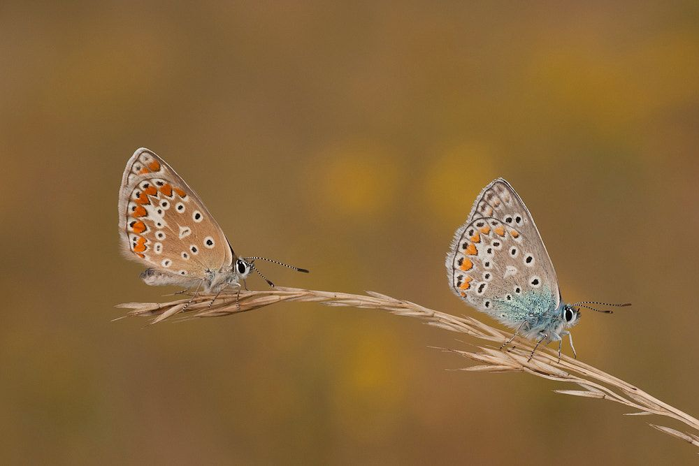 Just The Two Of Us These Common Blue Are Having The Same Place To Sleap So I Could Make A Picture Of Them Together Mariposas Hermosa