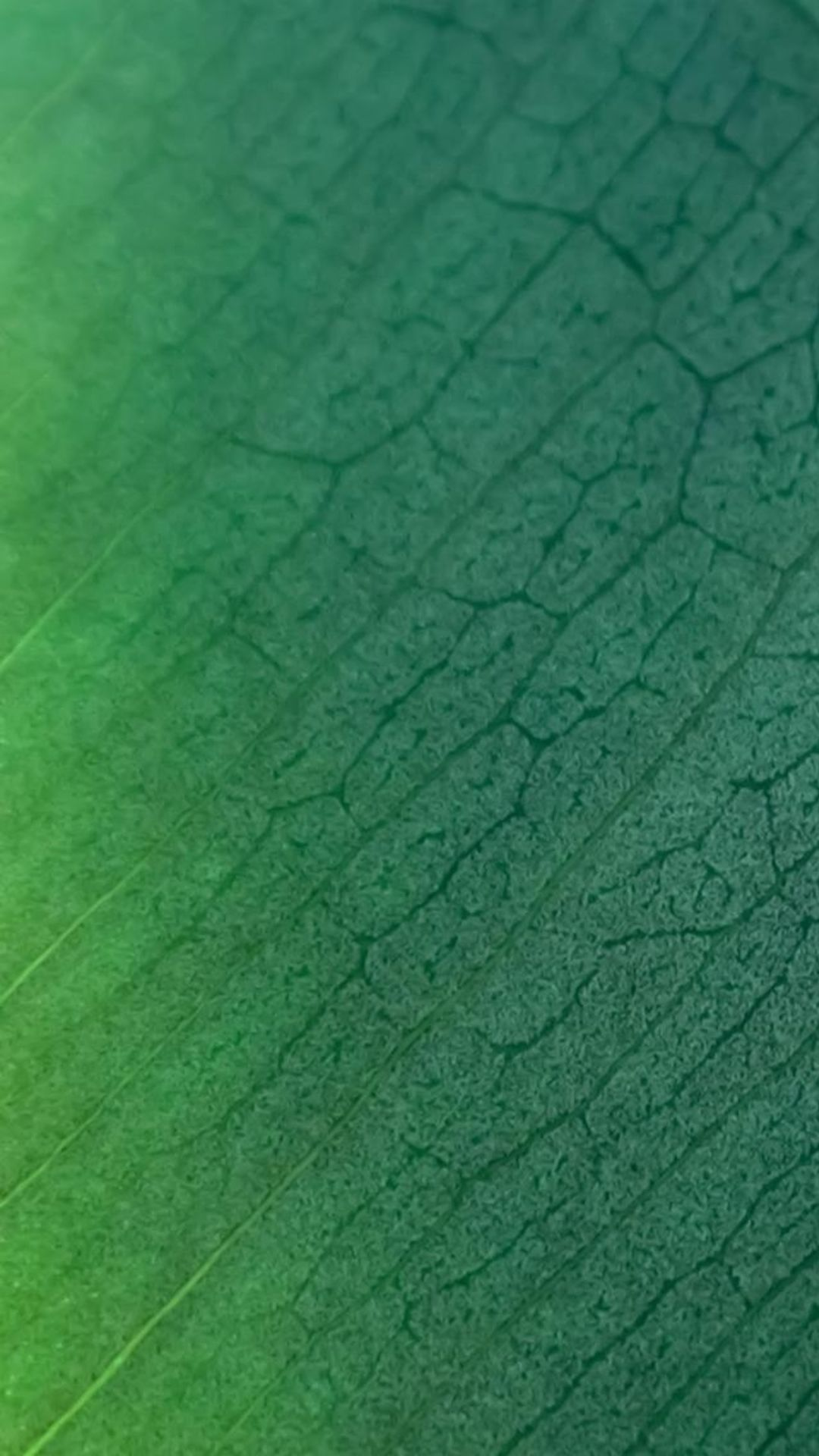 Pure Clear Leaf Texture Background iPhone 6 wallpaper