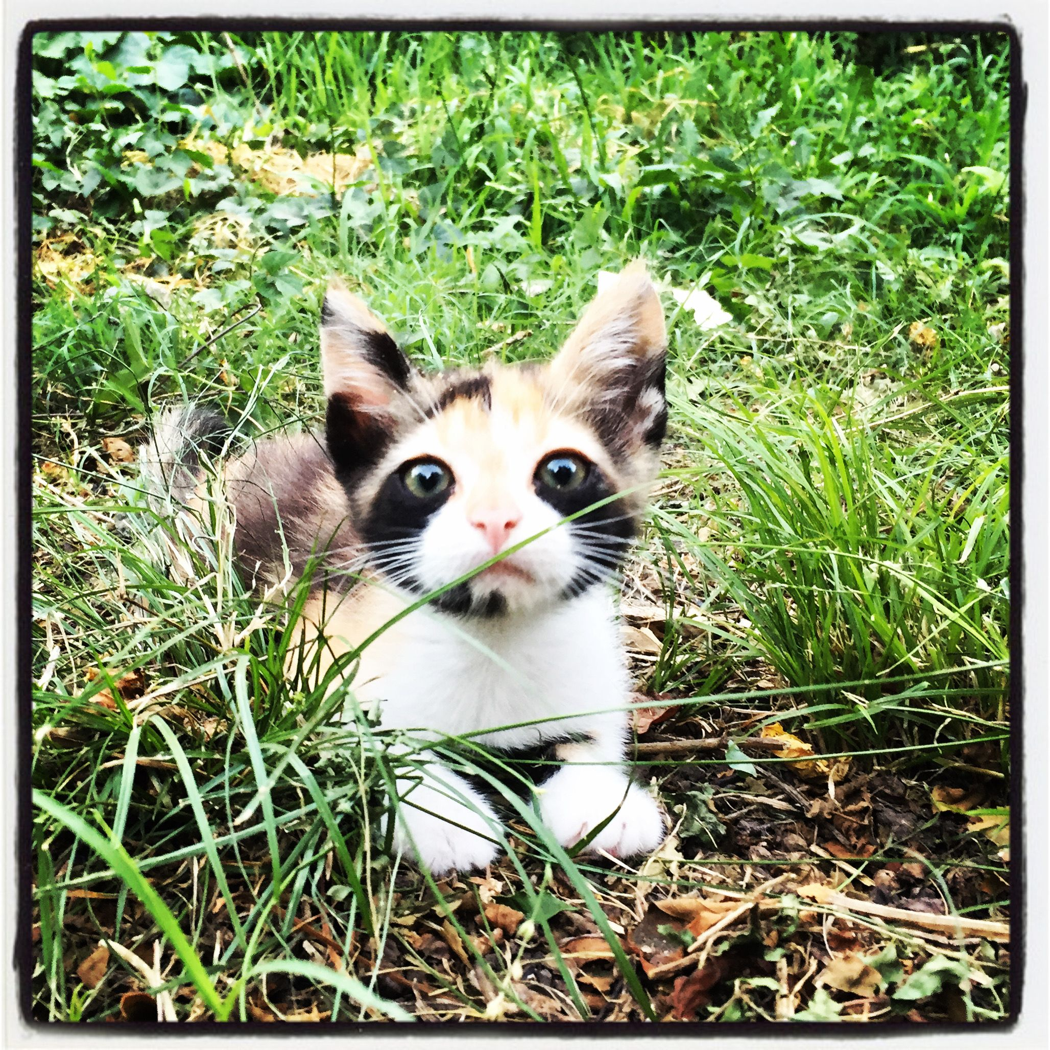 Baby Calico Cat In 2020 Kittens Cutest Calico Cat Beautiful Cats