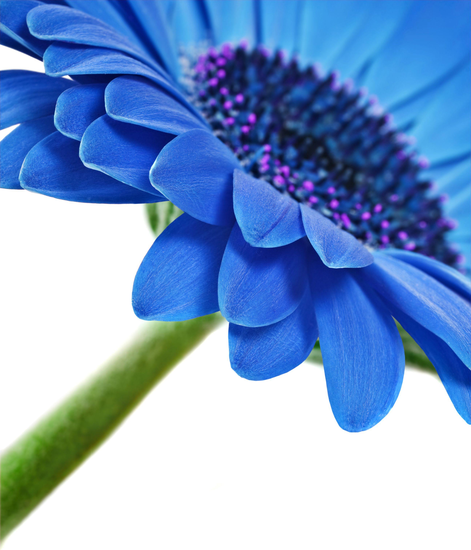 Blue Gerber Daisy Are These Real Gerbera Flower Blue Daisy Gerber Daisies