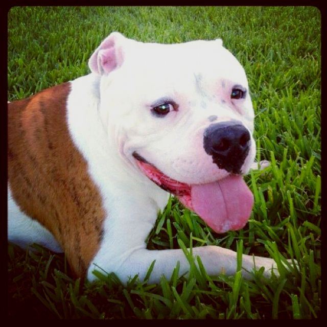 American Bulldog American Bulldog Bulldog Beautiful Dogs