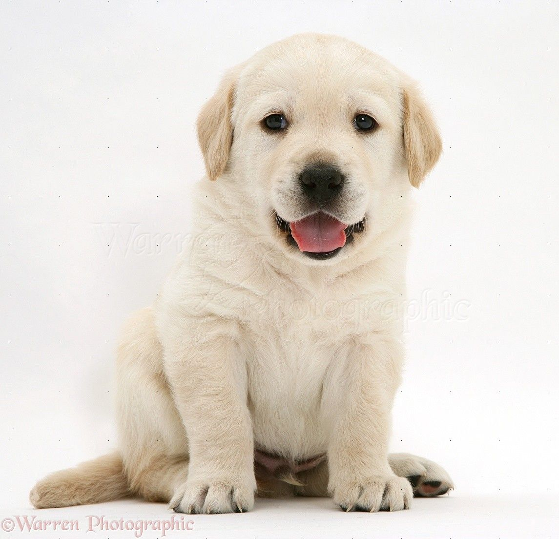 Goldador Puppy Cute Baby Dogs Lab Puppies Cute Puppy Pictures