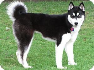 Nikita (OS) is an adoptable Siberian Husky Dog in Baltimore, MD. Eyes: BrownBreed: Siberian HuskyAdults: Affectionate & playfulKids: Best with older children because of her energy levelDogs: FriendlyC...