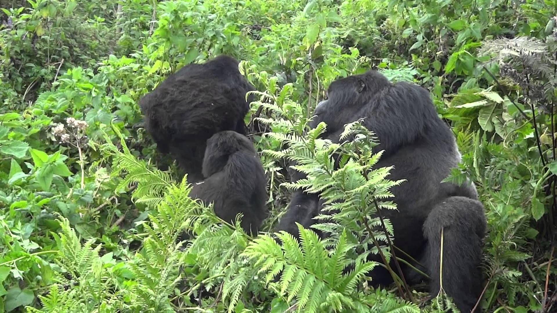 Tracking Gorillas In Parc Nationale Des Volcanoes In Rwanda Has