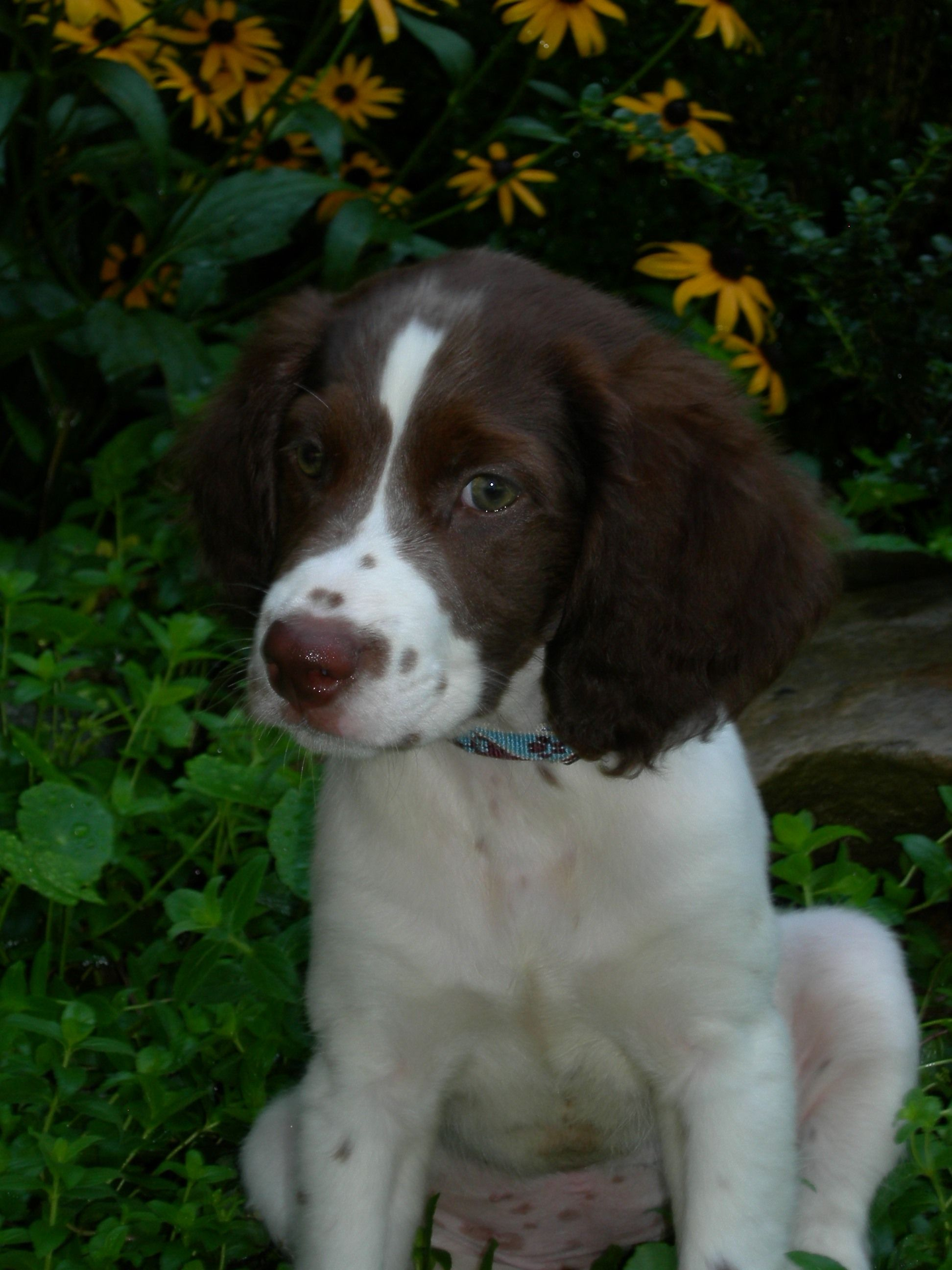 brittany spaniel a great family pet animals pinterest