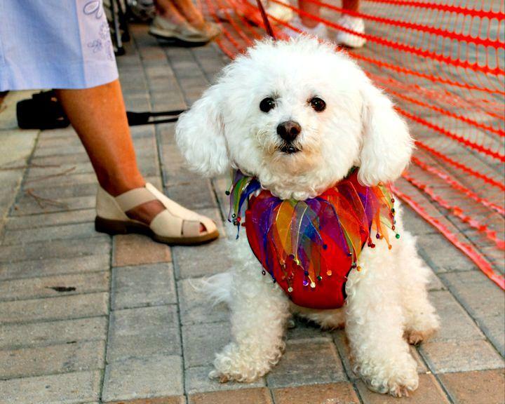 Costumed canine reveler at Destin's HarborWalk Village Pardi Gras celebration