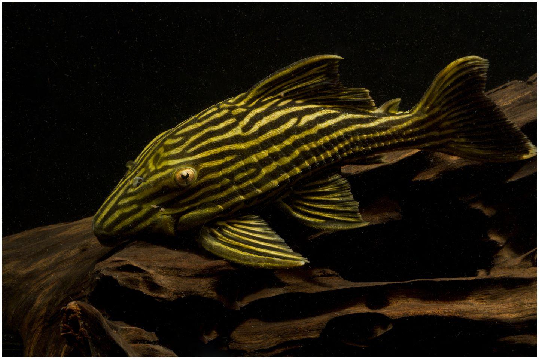 Plecostomus Auctions Tue May 31 02 58 33 2016 Freshwater Aquarium Fish Pleco Fish Plecostomus