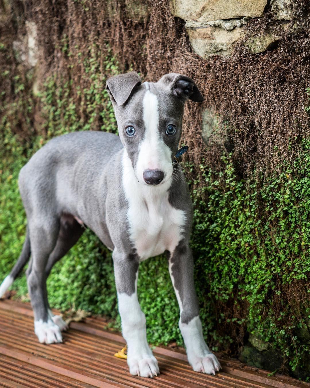 Blue Whippet Puppy Regram Via Whippet Named Blue Whippet Puppies Blue Whippet Whippet Dog