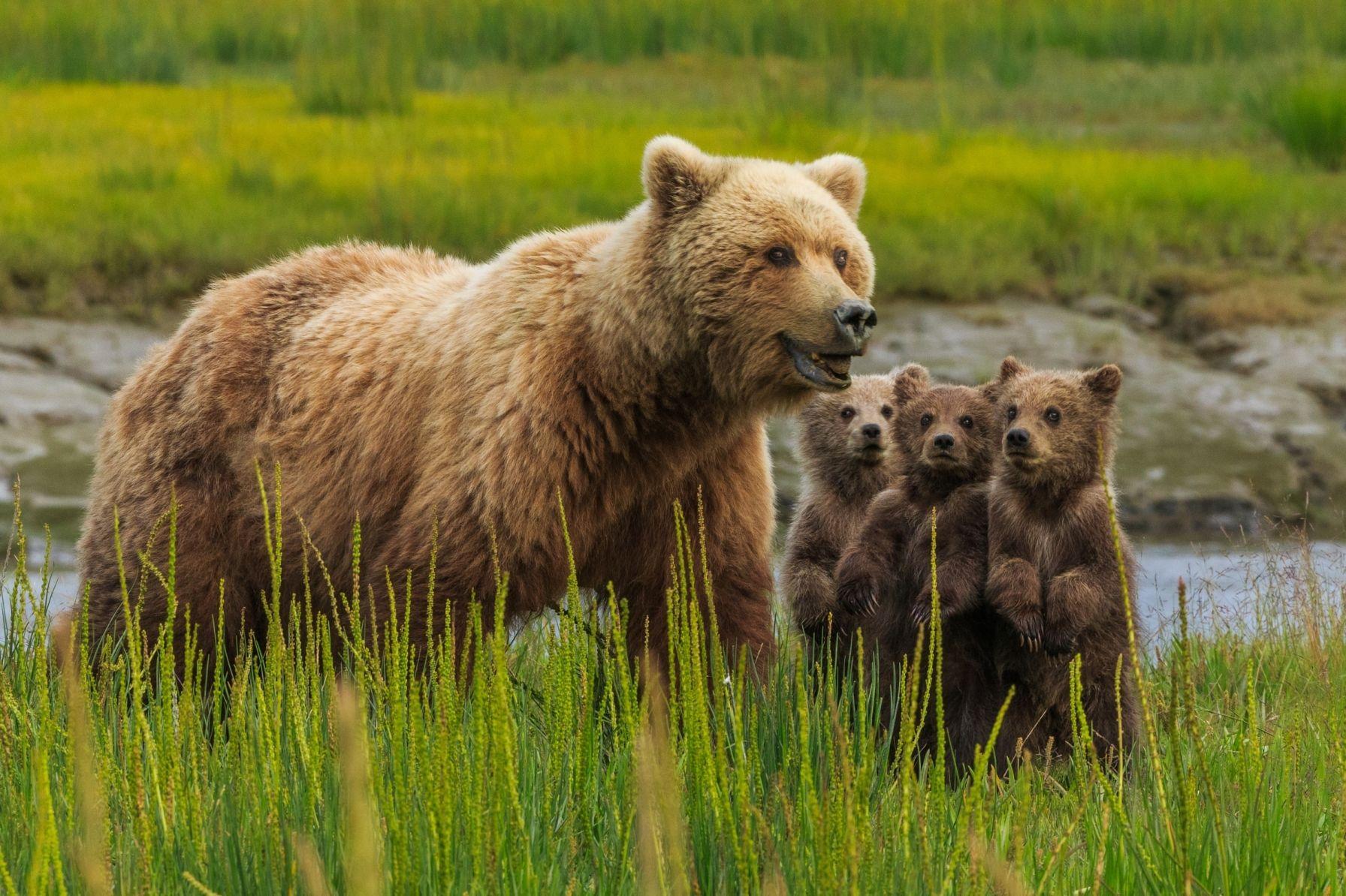 Brown Bears Lake Clark National Park Alaska Usa Brown Bear