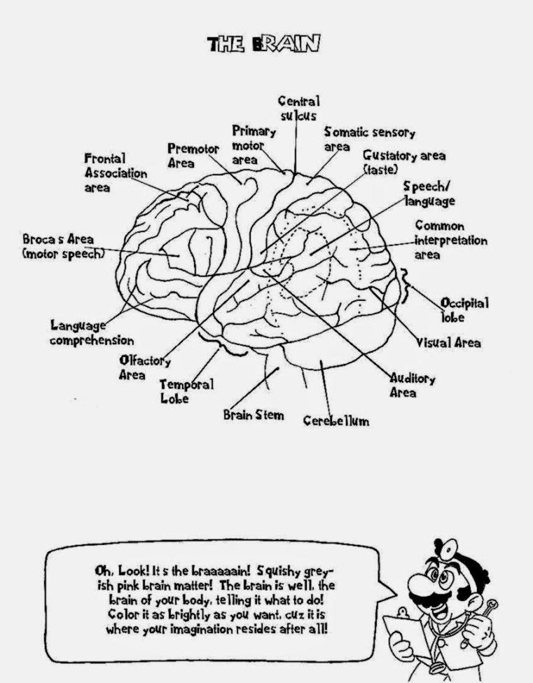 - Best Of Brain Anatomy Coloring Book AnyOneForAnyaTeam
