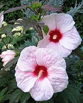 Hibiscus Kopper King-tall and hardy and can grow in zone 7--my cousin grows these and they're tall and gorgeous