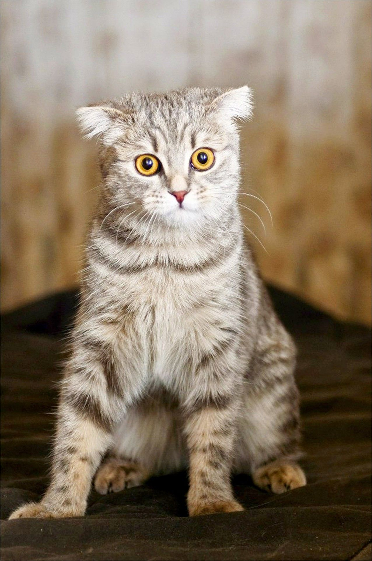 Cat Wallpaper Img Pictures Cat Eyes Scottish Fold Cat Yellow Eyes Striped