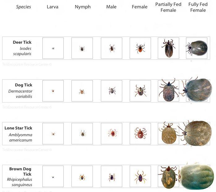 Deer tick identification tick identification chart lyme warrior