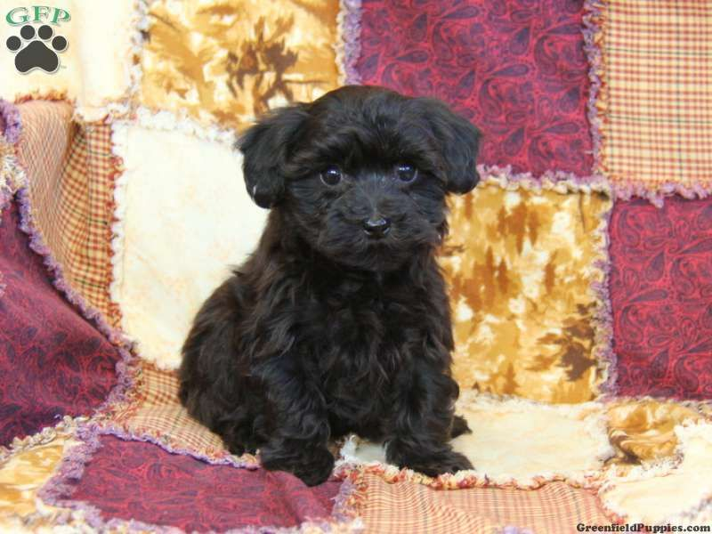 Yorkie Poo Information YorkiePoo Puppies For Sale In PA