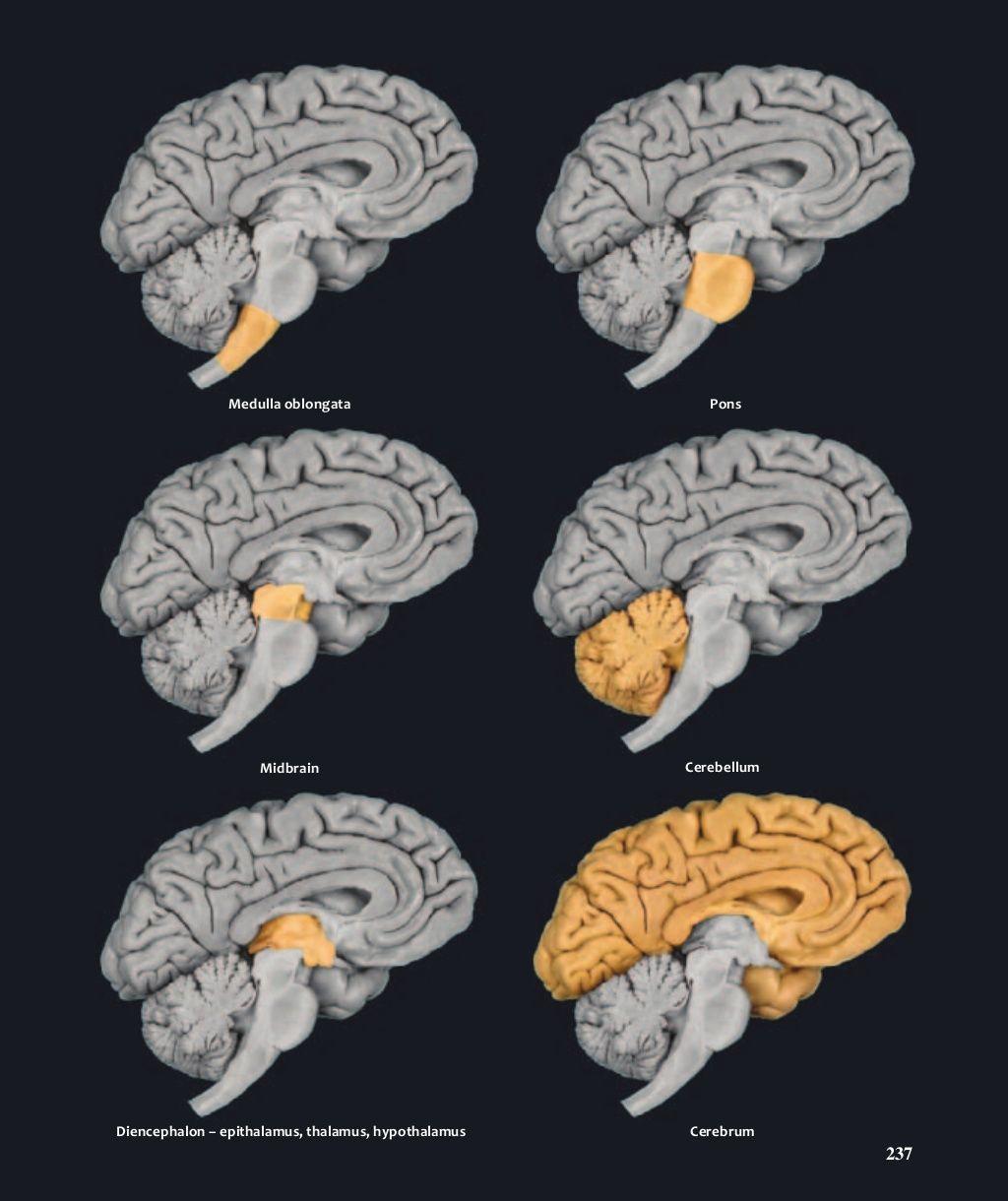 Atlas of human anatomy mark nielsen   Brain   Pinterest   Human ...